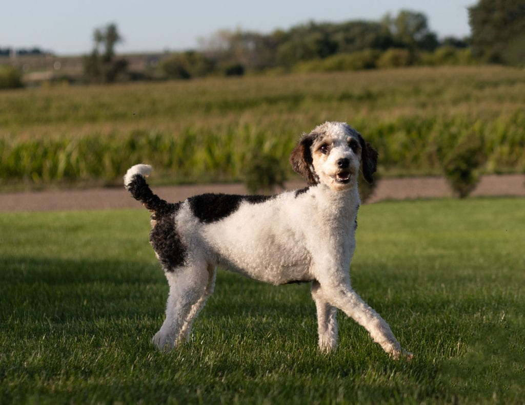 Tessa is an  Poodle and a mother here at Poodles 2 Doodles, Sheepadoodle and Bernedoodle breeder from Iowa