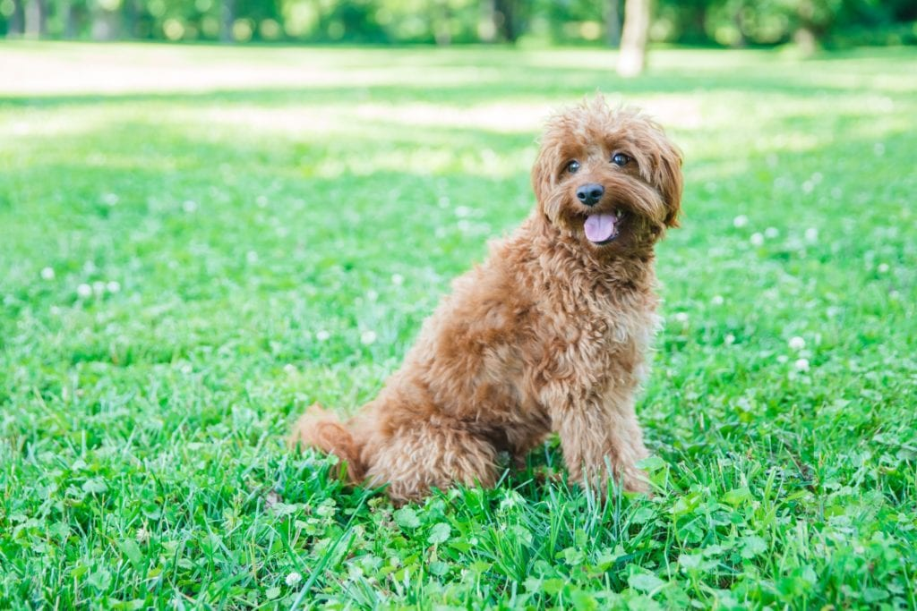 Scarlett is an F1B Goldendoodle and a mother here at Poodles 2 Doodles, a top breeder of Bernedoodle puppies