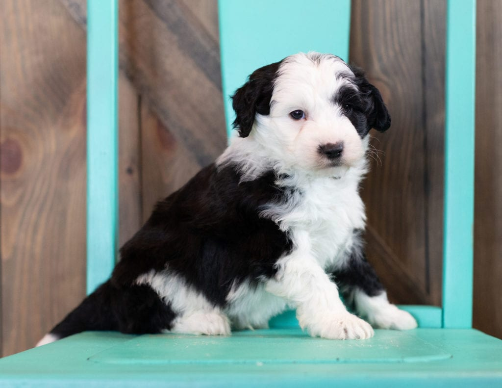"""Omer is an F1 Sheepadoodle that will be hypoallergenic. Read more about what a dog being hypoallergenic means on our latest blog post, """"The New Breed Everyone Seems to Want"""""""