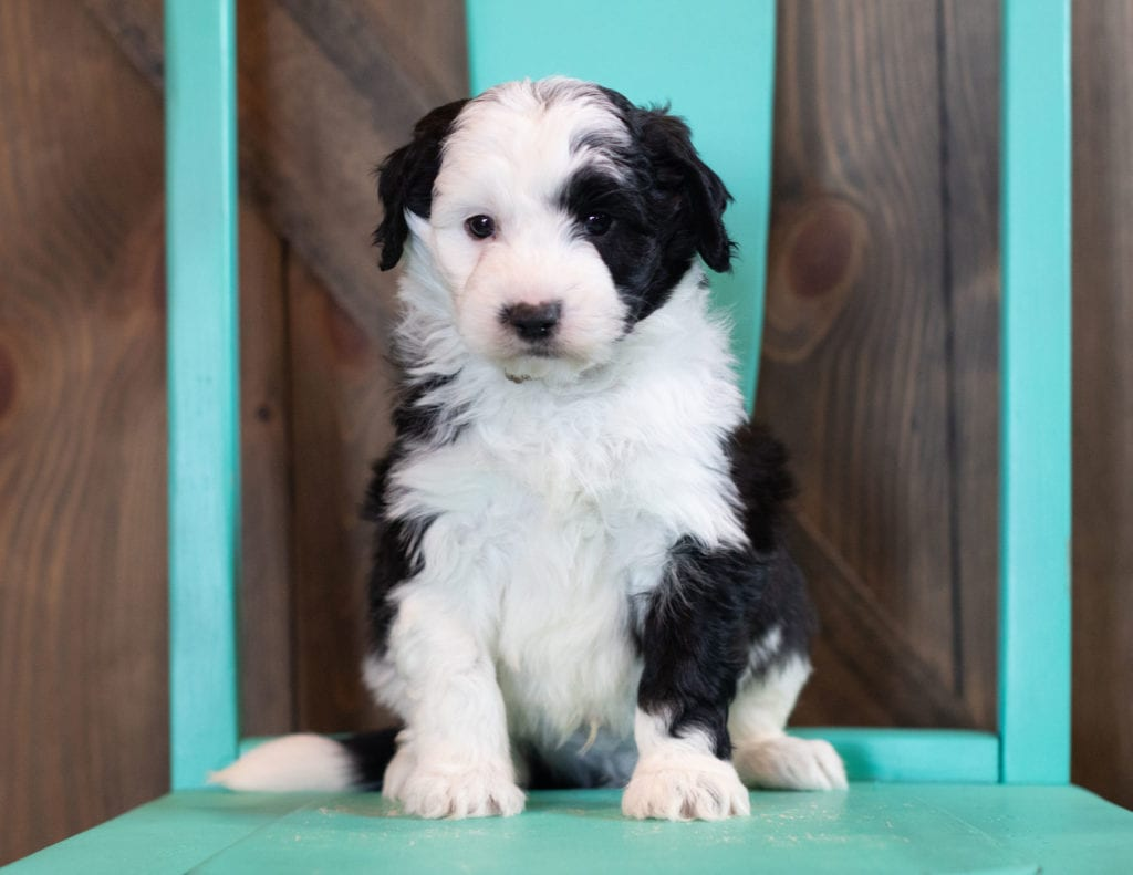 A picture of a Omer, one of our Mini Sheepadoodles puppies