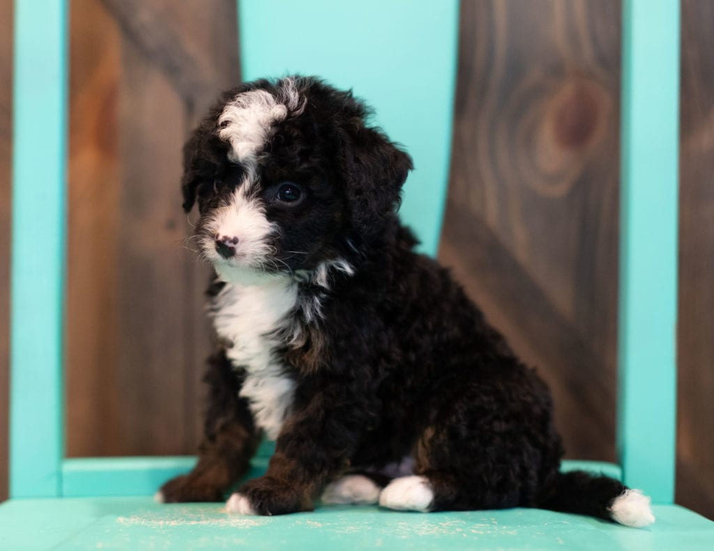 Quin came from Willow and Grimm's litter of F1 Bernedoodles