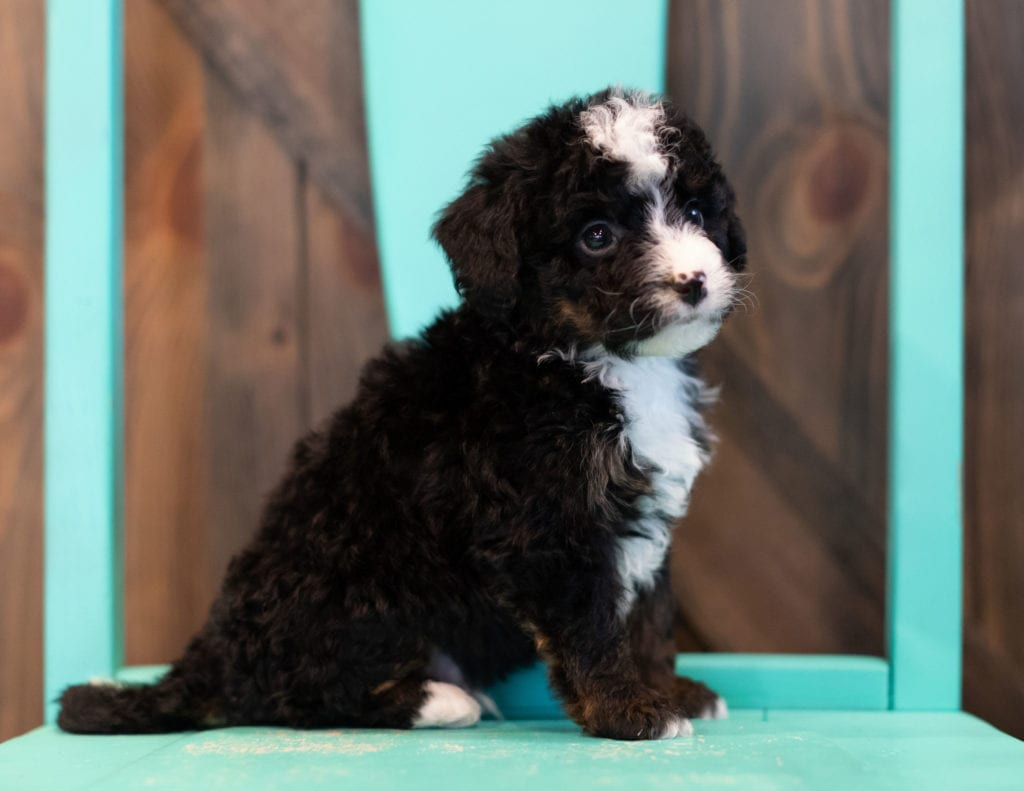 "Quin is an F1 Bernedoodle that will be hypoallergenic. Read more about what a dog being hypoallergenic means on our latest blog post, ""The New Breed Everyone Seems to Want"""