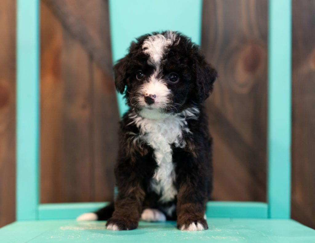 A picture of a Quin, one of our Mini Bernedoodles puppies