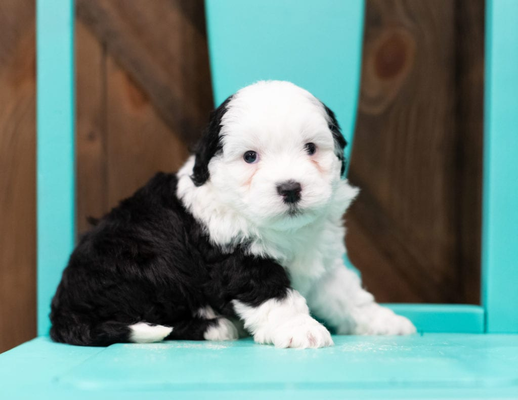 "Rory is an F1B Sheepadoodle that will be hypoallergenic. Read more about what a dog being hypoallergenic means on our latest blog post, ""The New Breed Everyone Seems to Want"""