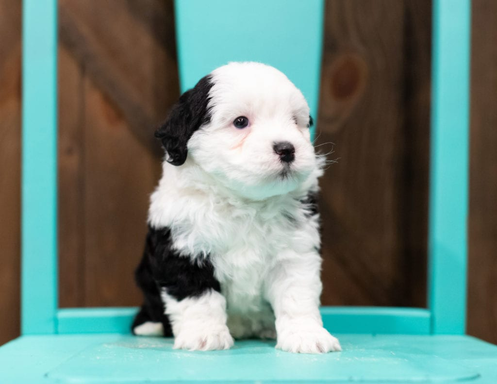 A picture of a Rory, one of our Petite Sheepadoodles puppies