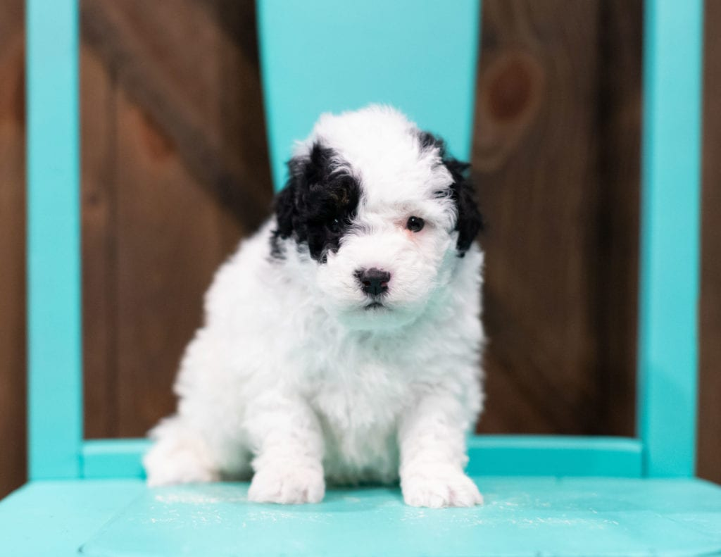 "Rex is an F1B Sheepadoodle that will be hypoallergenic. Read more about what a dog being hypoallergenic means on our latest blog post, ""The New Breed Everyone Seems to Want"""