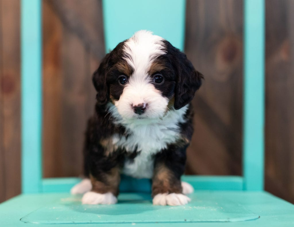 A picture of a Quincey, one of our Mini Bernedoodles puppies