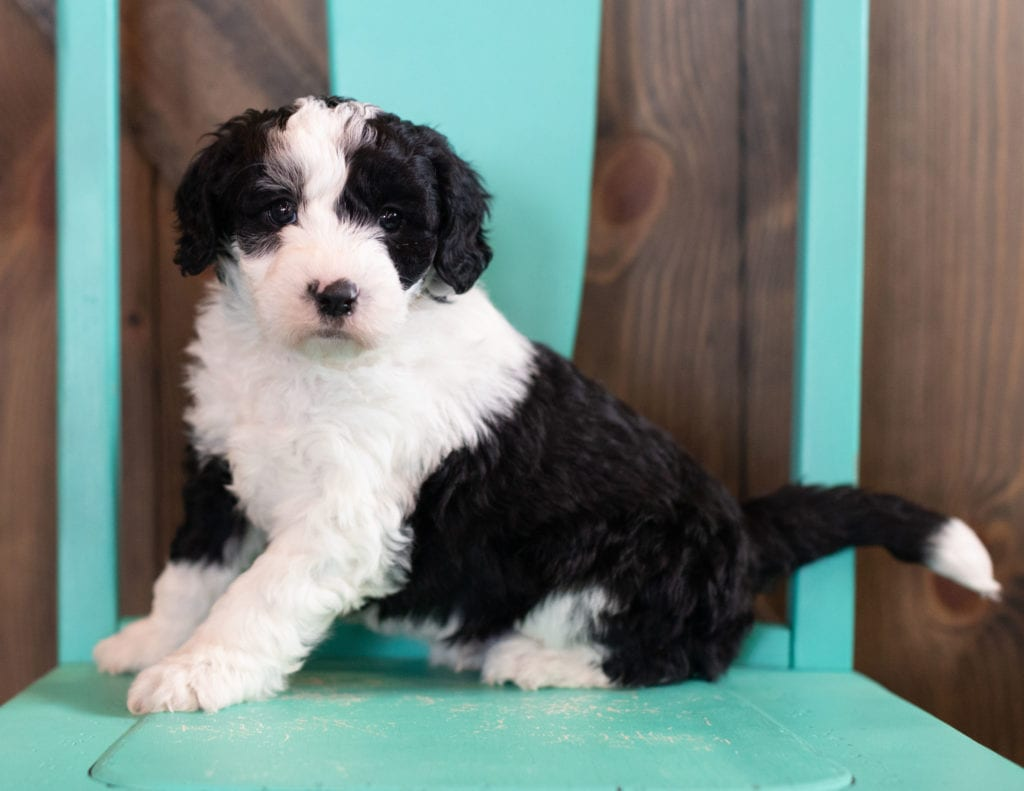 """Olek is an F1 Sheepadoodle that will be hypoallergenic. Read more about what a dog being hypoallergenic means on our latest blog post, """"The New Breed Everyone Seems to Want"""""""