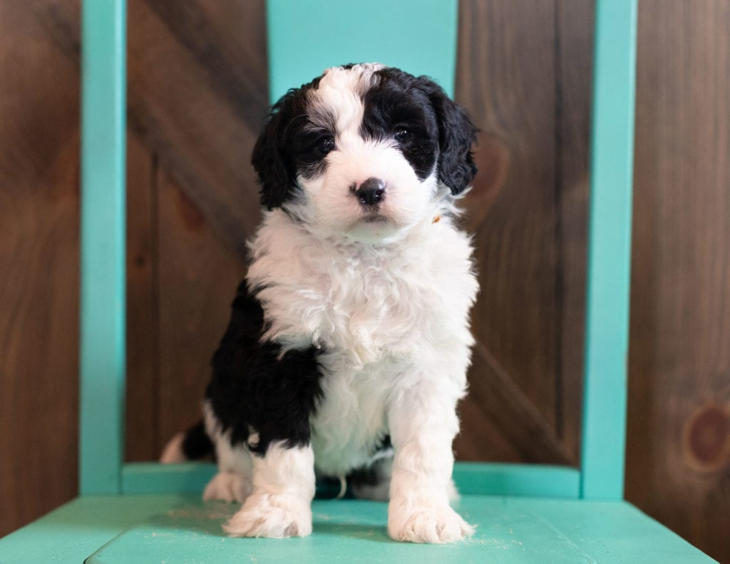 A picture of a Olek, one of our Mini Sheepadoodles puppies