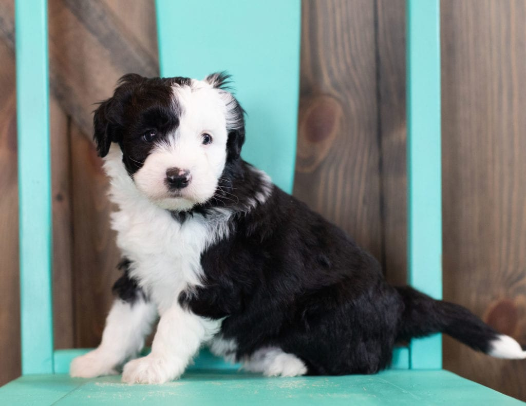 Onyx came from Tuxxy and River's litter of F1 Sheepadoodles