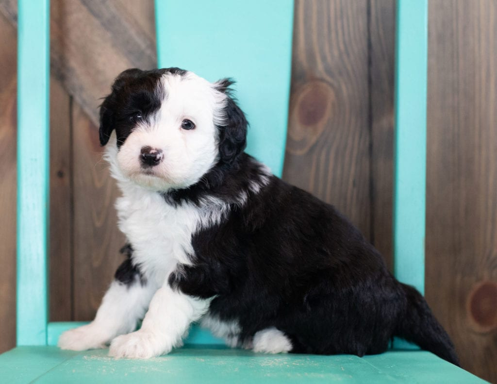 A picture of a Onyx, one of our Mini Sheepadoodles puppies