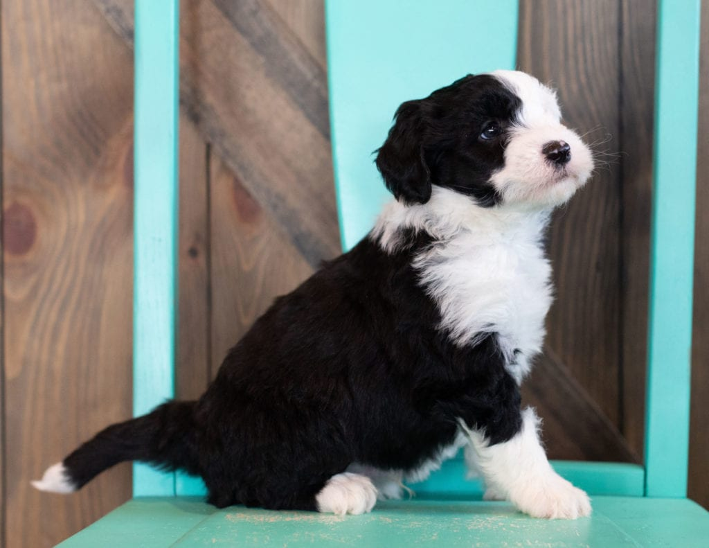 """Onyx is an F1 Sheepadoodle that will be hypoallergenic. Read more about what a dog being hypoallergenic means on our latest blog post, """"The New Breed Everyone Seems to Want"""""""