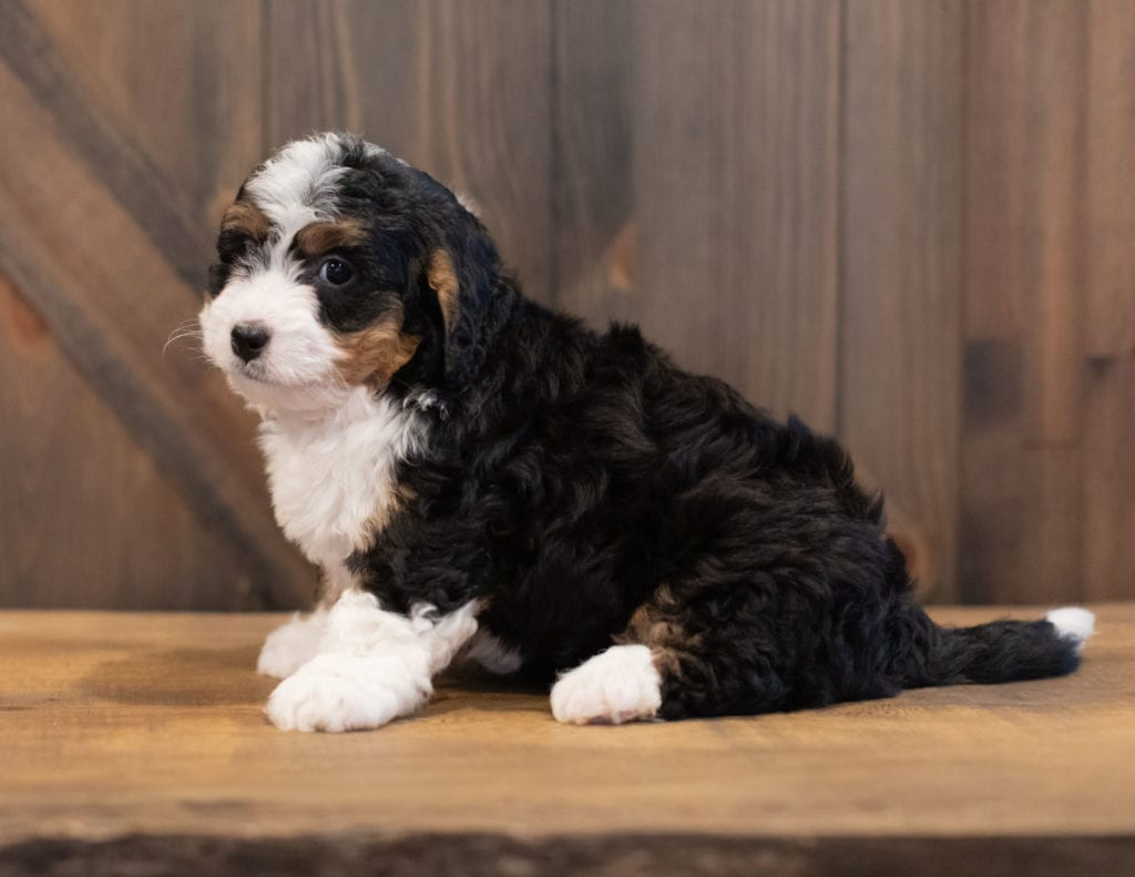 Sam is an F1 Bernedoodle that should have  and is currently living in Alabama
