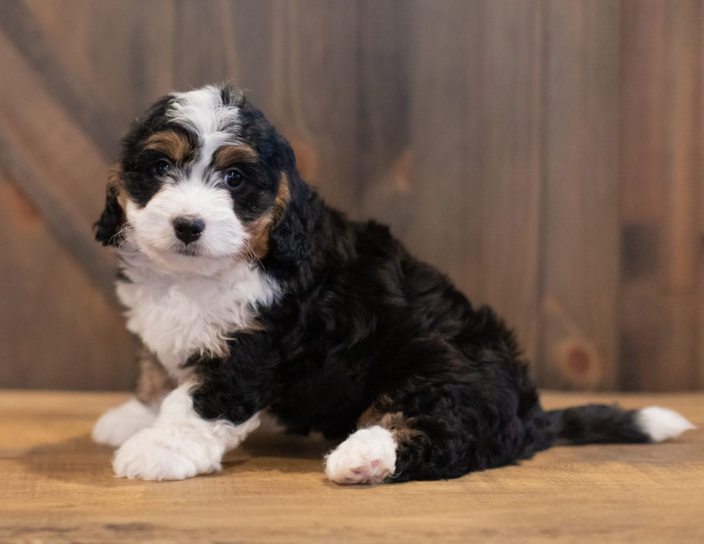 Sam came from Tori and Stanley's litter of F1 Bernedoodles