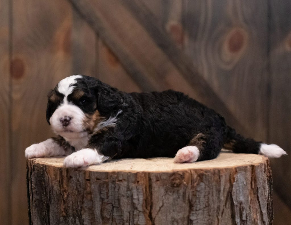 """Scotty is an F1 Bernedoodle that will be hypoallergenic. Read more about what a dog being hypoallergenic means on our latest blog post, """"The New Breed Everyone Seems to Want"""""""