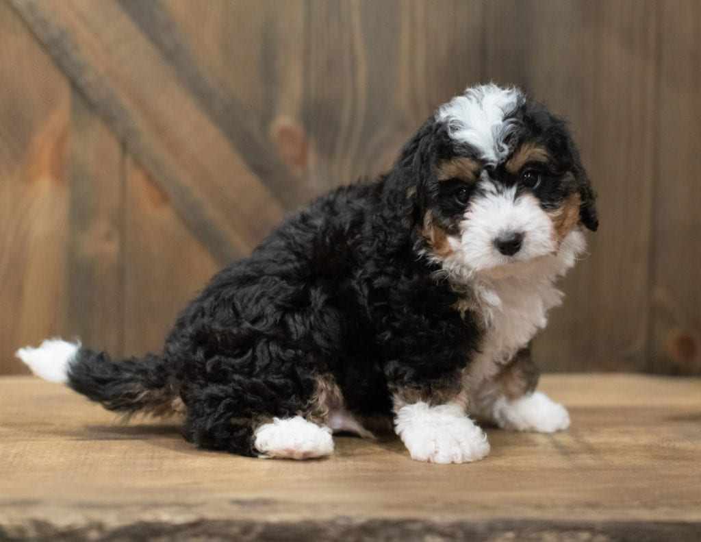 A picture of a Scotty, one of our Mini Bernedoodles puppies that went to their home in California