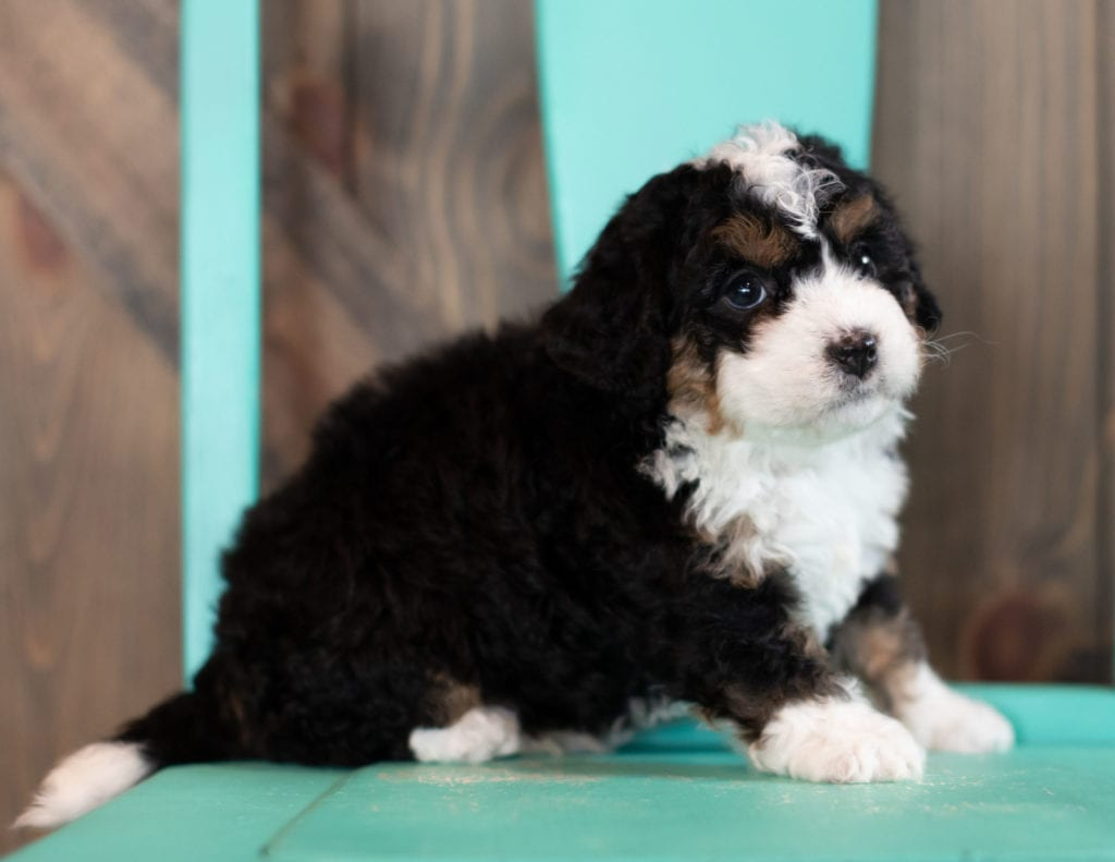 "Scotty is an F1 Bernedoodle that will be hypoallergenic. Read more about what a dog being hypoallergenic means on our latest blog post, ""The New Breed Everyone Seems to Want"""