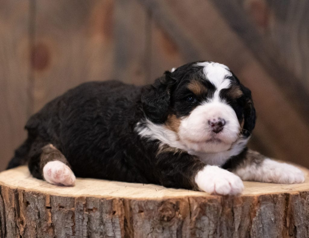 A picture of a Scotty, one of our Mini Bernedoodles puppies