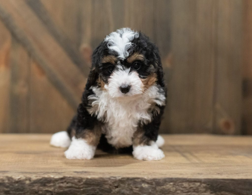 Scotty came from Tori and Stanley's litter of F1 Bernedoodles