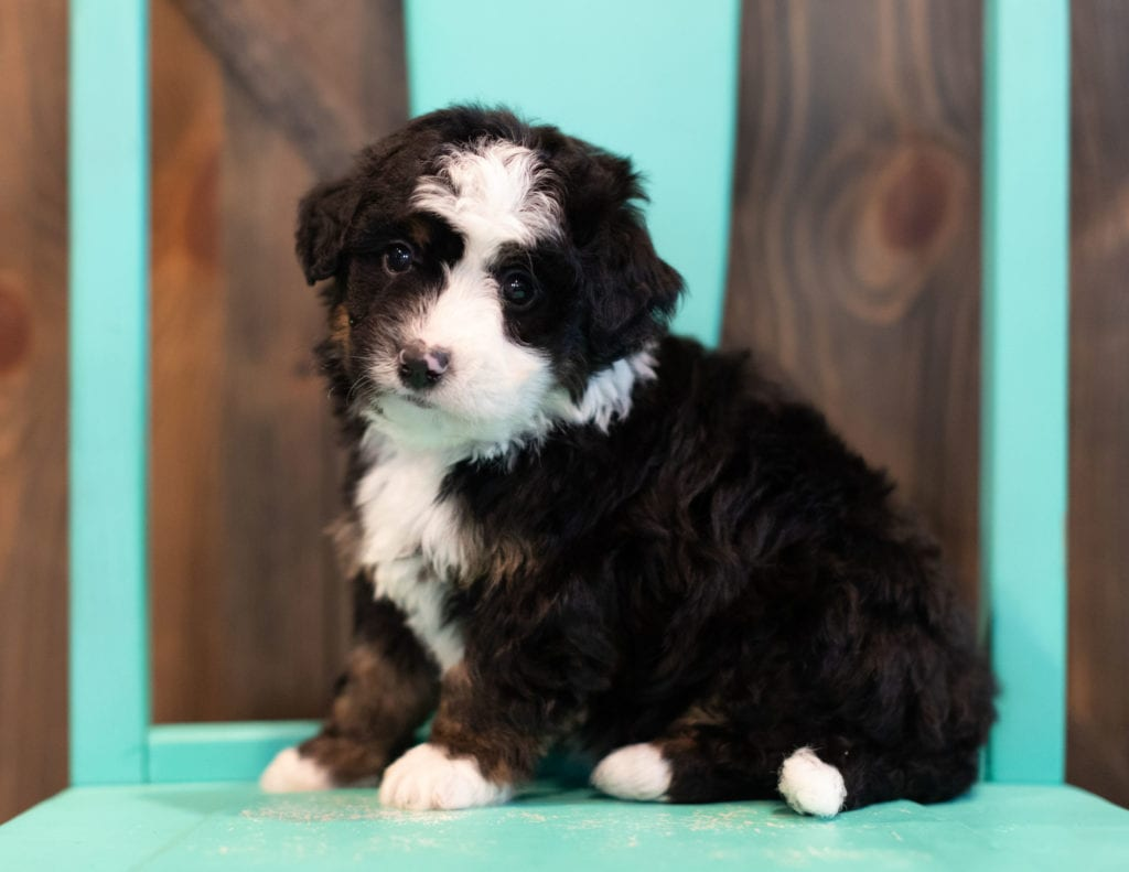 Quaker came from Willow and Grimm's litter of F1 Bernedoodles