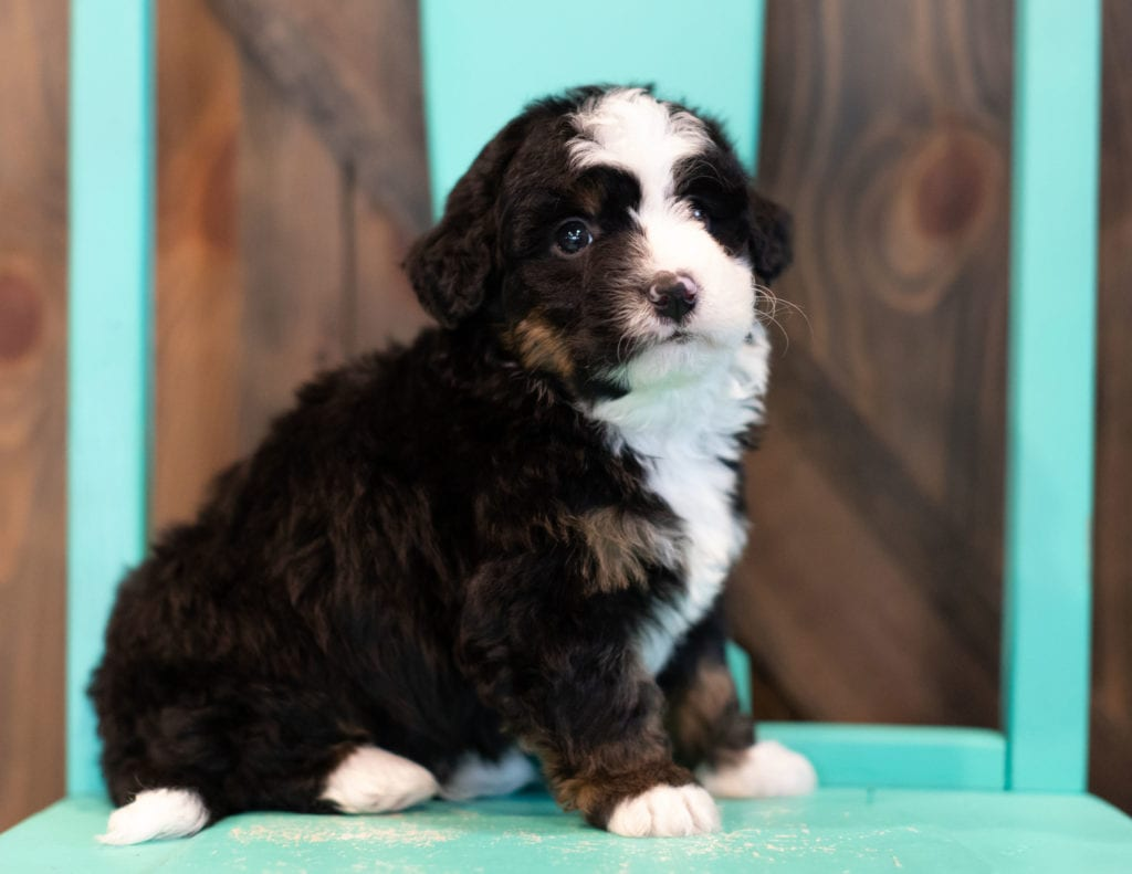 "Quaker is an F1 Bernedoodle that will be hypoallergenic. Read more about what a dog being hypoallergenic means on our latest blog post, ""The New Breed Everyone Seems to Want"""