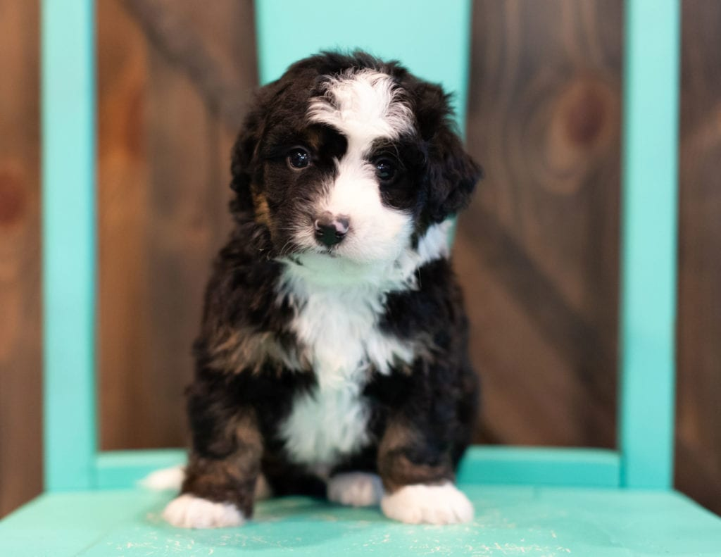 A picture of a Quaker, one of our Mini Bernedoodles puppies