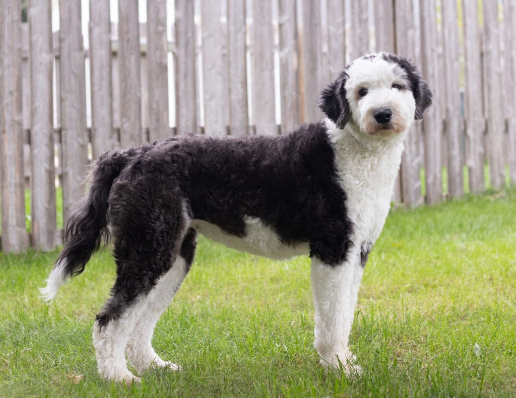 A picture of one of our Sheepadoodle mother's, Harper.