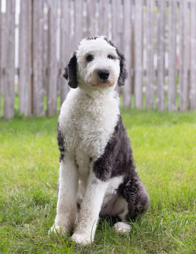 Harper is an F1 Sheepadoodle and a mother here at Poodles 2 Doodles, Sheepadoodle and Bernedoodle breeder from Iowa