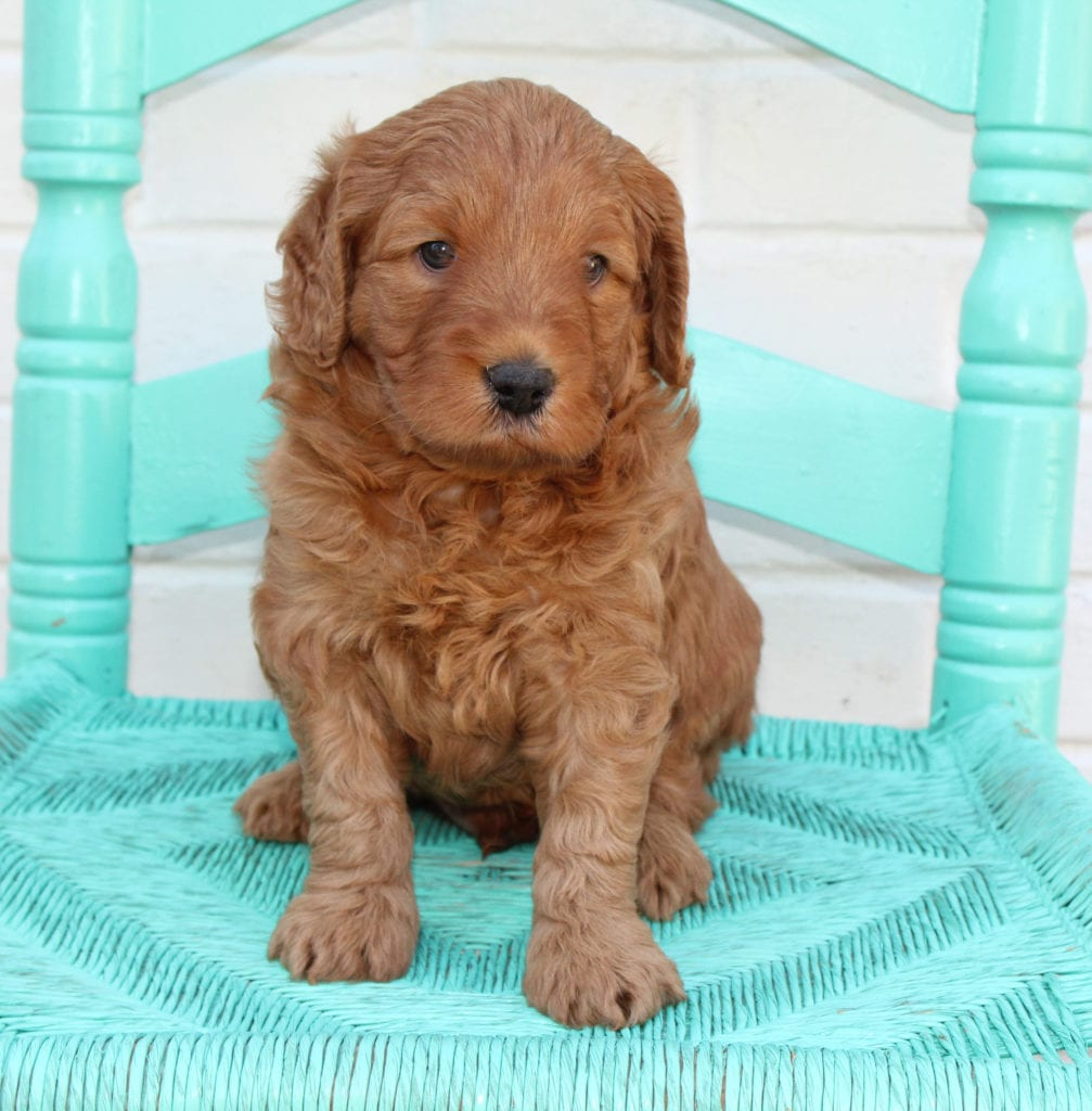 Another great picture of Petey, a Australian Goldendoodles puppy