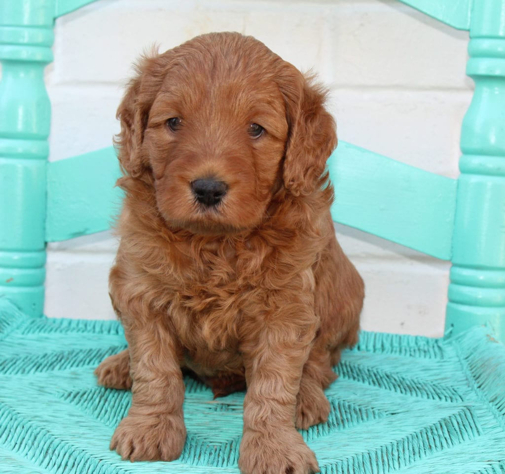 A picture of a Petey, one of our Mini Australian Goldendoodles puppies that went to their home in South Dakota