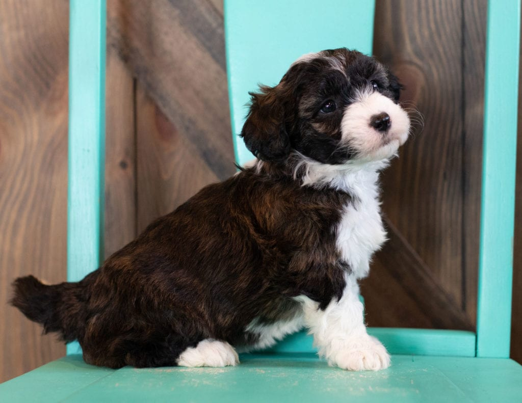 A picture of a Orsa, one of our Mini Sheepadoodles puppies