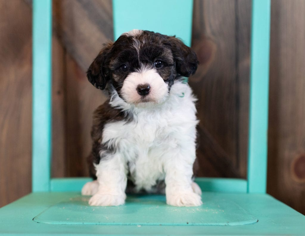 """Orsa is an F1 Sheepadoodle that will be hypoallergenic. Read more about what a dog being hypoallergenic means on our latest blog post, """"The New Breed Everyone Seems to Want"""""""
