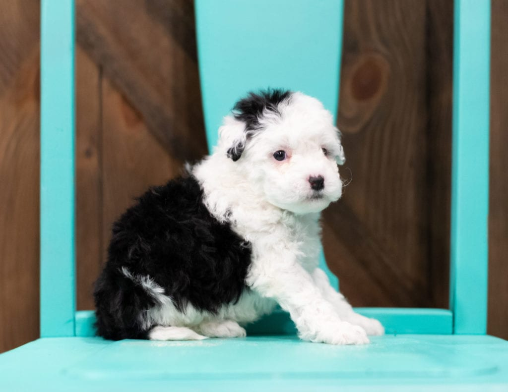 "Rosie is an F1B Sheepadoodle that will be hypoallergenic. Read more about what a dog being hypoallergenic means on our latest blog post, ""The New Breed Everyone Seems to Want"""