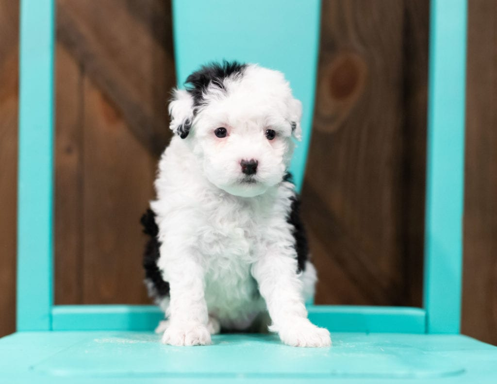 A picture of a Rosie, one of our Petite Sheepadoodles puppies