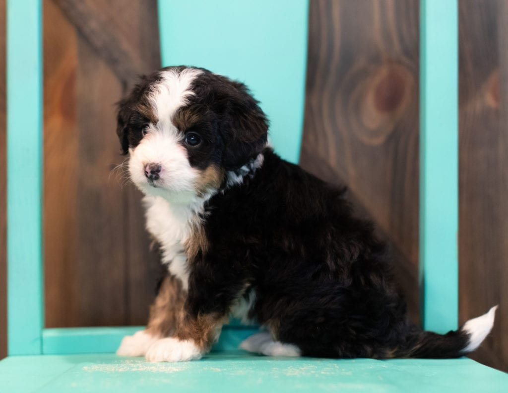 Quella came from Willow and Grimm's litter of F1 Bernedoodles