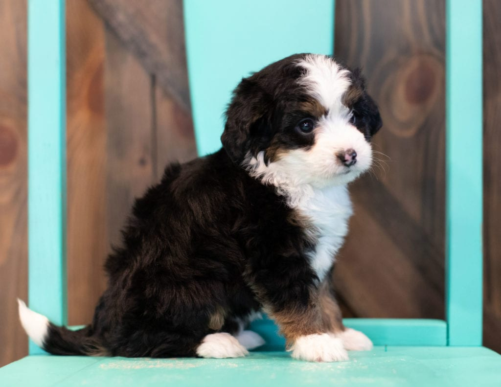 A picture of a Quella, one of our Mini Bernedoodles puppies that went to their home in Tennessee