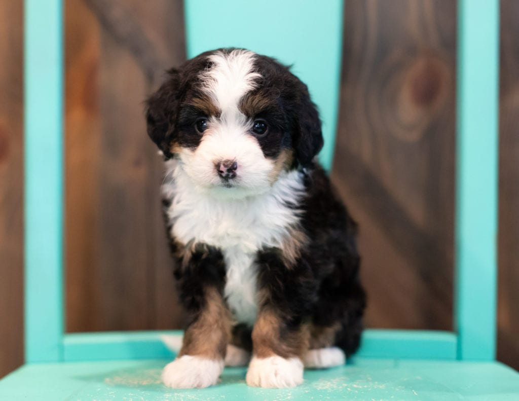 Quella is an F1 Bernedoodle that should have  and is currently living in Tennessee