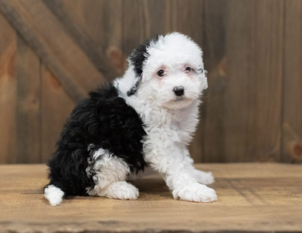 Rosie is an F1B Sheepadoodle that should have  and is currently living in North Carolina