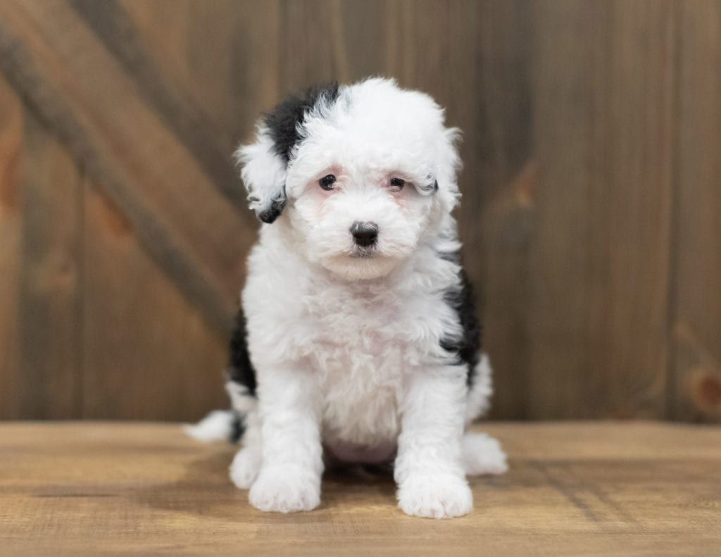 A picture of a Rosie, one of our Petite Sheepadoodles puppies that went to their home in North Carolina
