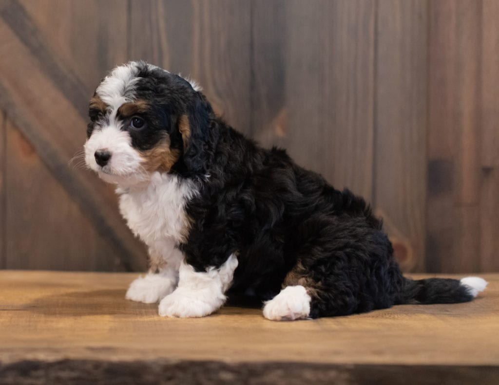 Sophie is an F1 Bernedoodle that should have  and is currently living in United Kingtom