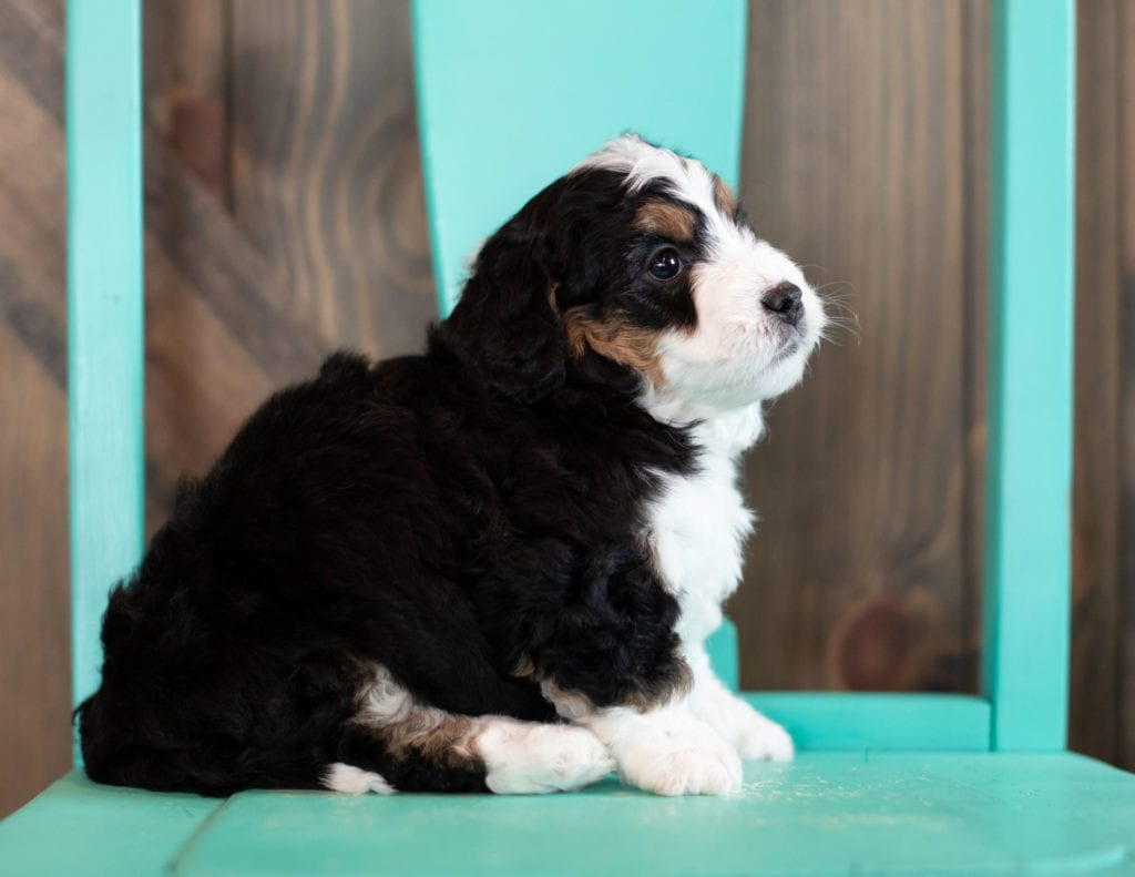"Sophie is an F1 Bernedoodle that will be hypoallergenic. Read more about what a dog being hypoallergenic means on our latest blog post, ""The New Breed Everyone Seems to Want"""