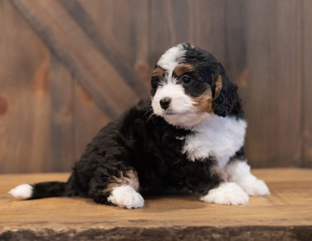 Sophie came from Tori and Stanley's litter of F1 Bernedoodles