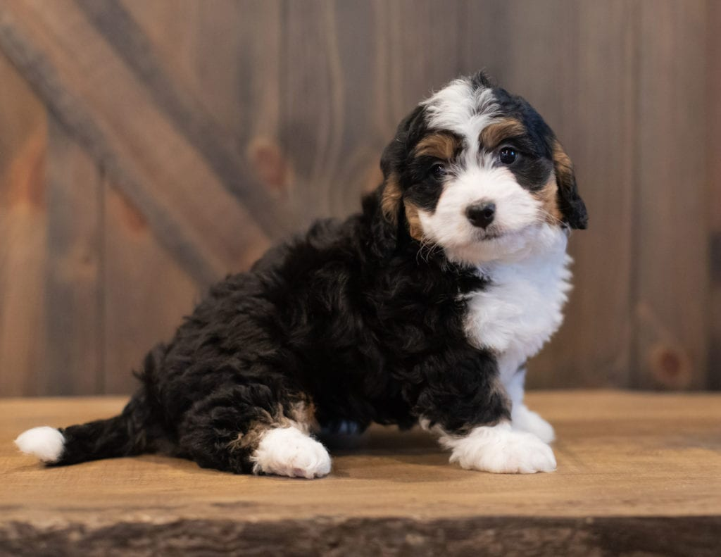 Mini Bernedoodles with hypoallergenic fur due to the Poodle in their genes. These Bernedoodles are of the F1 generation.