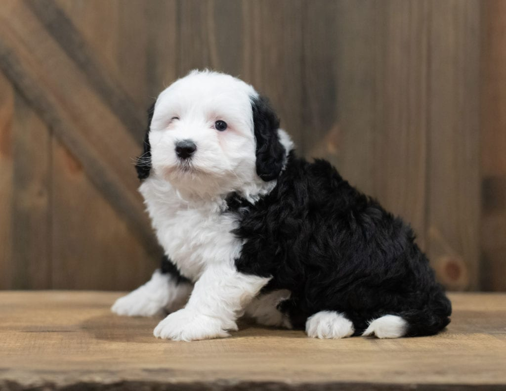 Rory is an F1B Sheepadoodle that should have  and is currently living in South Carolina