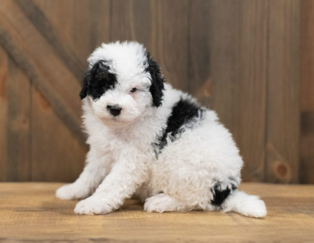Rex is an F1B Sheepadoodle that should have  and is currently living in Nebraska