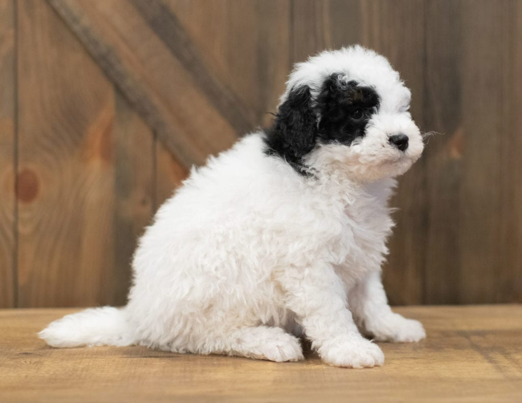 Rex came from Ella and River's litter of F1B Sheepadoodles