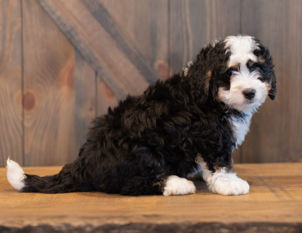Saber is an F1 Bernedoodle that should have  and is currently living in Flordia