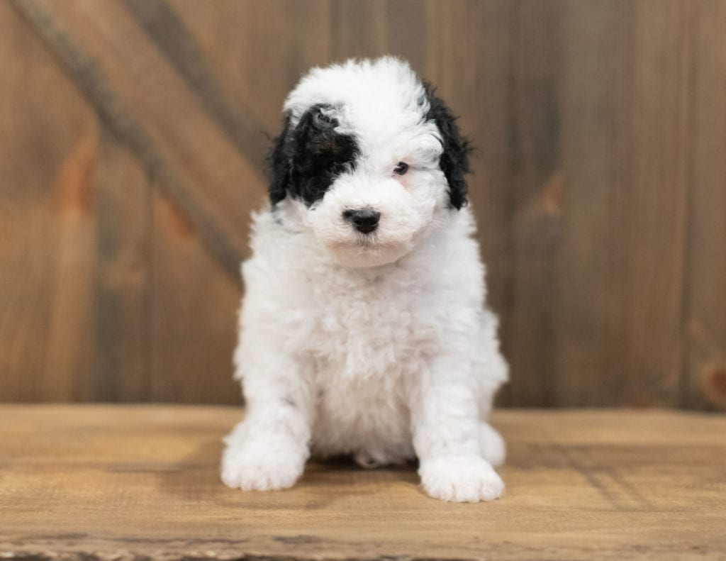 A picture of a Rex, one of our Petite Sheepadoodles puppies that went to their home in Nebraska