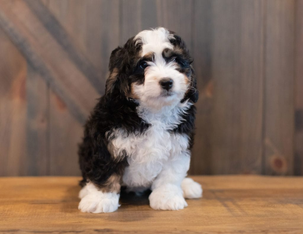 Saber came from Tori and Stanley's litter of F1 Bernedoodles