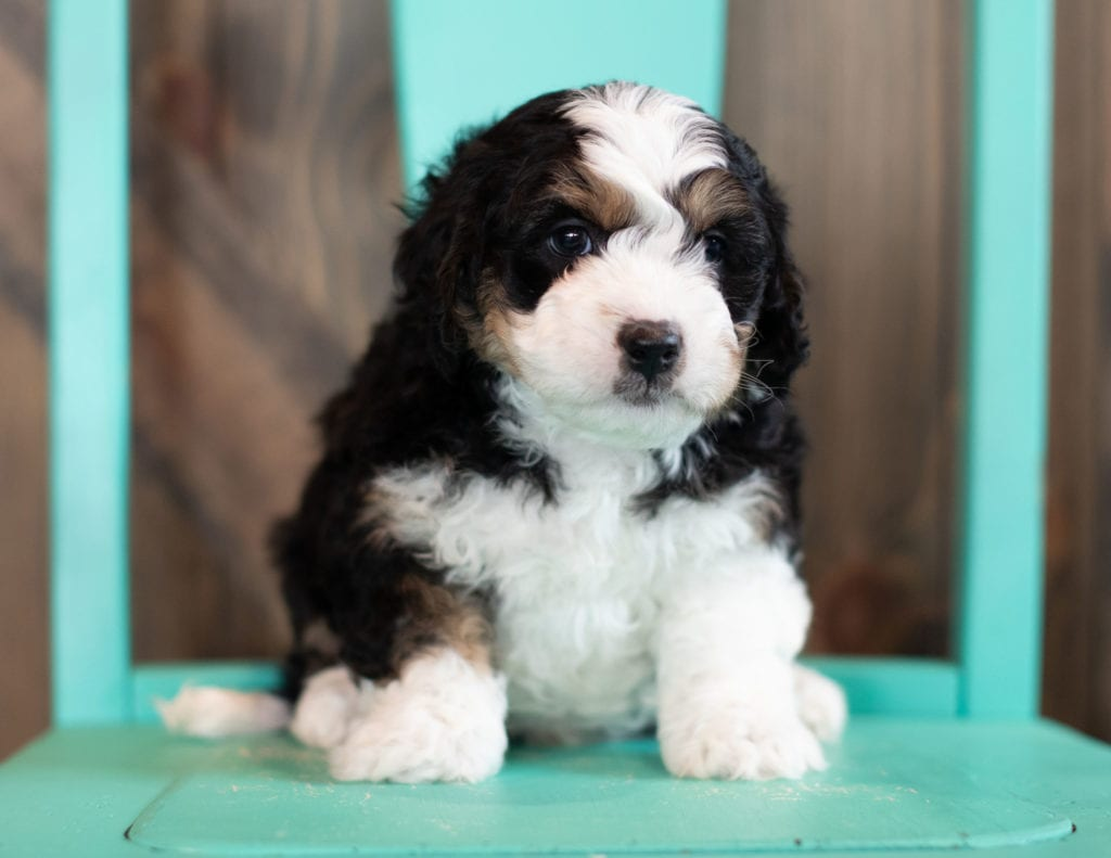 A picture of a Saber, one of our Mini Bernedoodles puppies